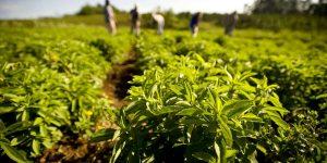 cultivo-stevia