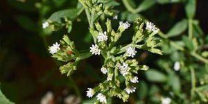 la planta de stevia