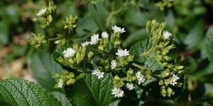 La stevia y sus debilidades
